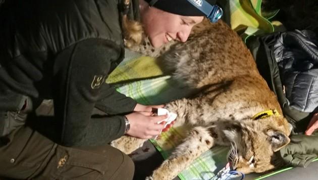 """Die Tierärztin untersucht Luchsmännchen """"Lakota"""", zapft Blut ab (Bild: Fuxjäger/Nationalpark Kalkalpen)"""