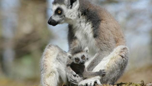 In Wels gibt´s auch Kattas (Bild: Zoo Salzburg)