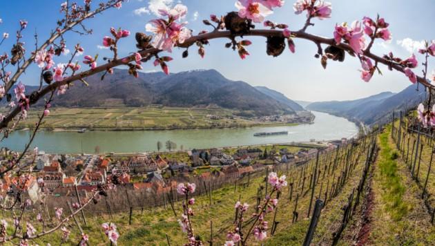 Der Blick auf die Donau in Spitz während der Marillenblüte. (Bild: ©samott - stock.adobe.com)