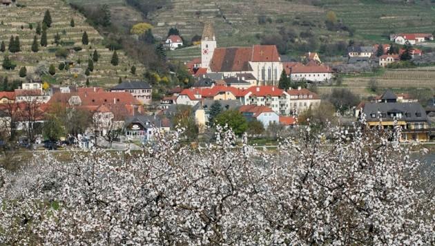 Rund 100.000 Wachauer Marillenbäume erreichen pünktlich zum Osterfest ihre Vollblüte (Bild: Semrad Gregor)