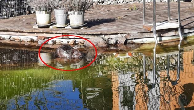 Der Biber verirrte sich in einen Schwimmteich in Sattledt. (Bild: FF Sattledt, krone.at)