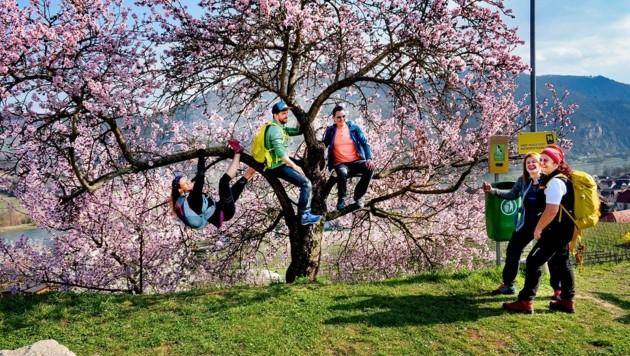 Die Blütenpracht zog am Wochenende vor dem Kälteeinbruch viele Ausflügler in die Wachau. (Bild: pressefotoLACKINGER)