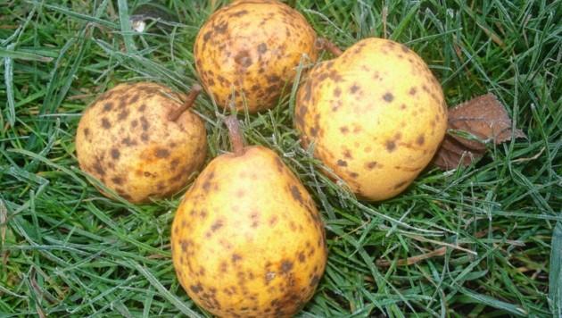 Die Lemone Birne ist eine sehr alte Kärntner Obstsorte. (Bild: Wallner Hannes)