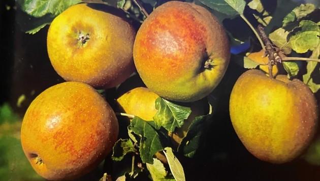 Ein Apfel für Alles: Der beliebte Schöner aus Boskoop. (Bild: zvg)