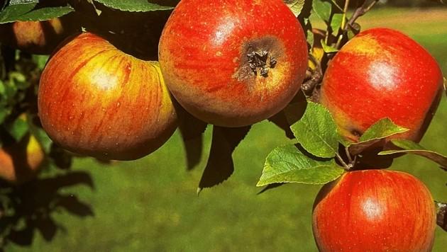 Die Goldparmäne ist ein ganz besonderer Apfelbaum. (Bild: zvg)