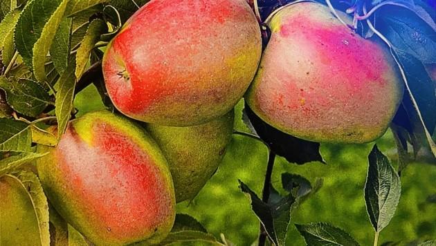 Eine sehr fruchtbare, robuste Apfelsorte, deren Bäume sehr alt werden können. (Bild: zvg)