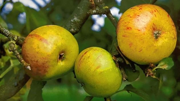 Der Jakob Lebel eignet sich perfekt für Apfelstrudel. (Bild: ZVG)