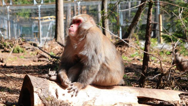 Die Subgruppe der Affen kann sich jederzeit hinter den neu abgezäunten Bereich zurückziehen. (Bild: Evelyn Hronek)