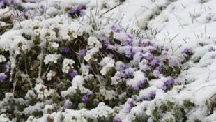 Der Schnee hat den optimistischen Frühlingsblumen erneut den Kampf angesagt. (Bild: Birbaumer Christof)