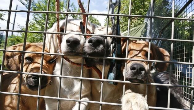 Die Vermittlung von Hunden führte zum Streit zwischen der Stadt und dem Tierschutzverein. (Bild: Tschepp Markus)