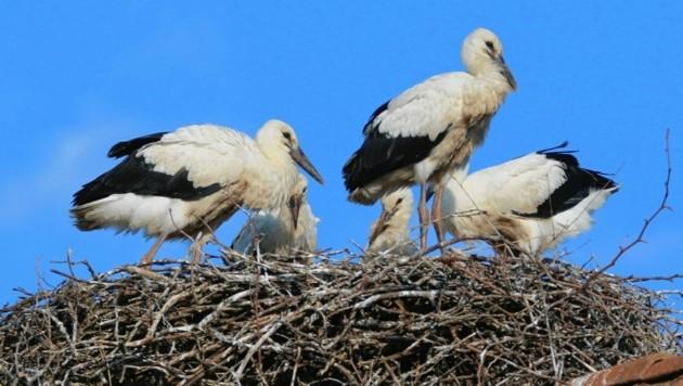 Ein Storchennest kann bis zu einer Tonne wiegen! (Bild: Hans-Martin Berg/BirdLife Österr)