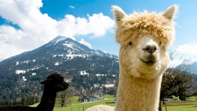 Bei Michael Müller aus Thüringerberg fühlen sich die süßen Alpakas richtig wohl! (Bild: Mathis Fotografie)