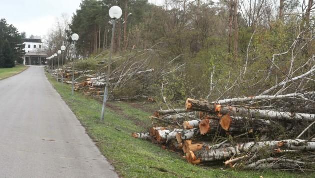 Entlang der Birkenallee zum Kurhaus wurden jetzt 50 Bäume umgeschnitten. (Bild: Judt Reinhard)