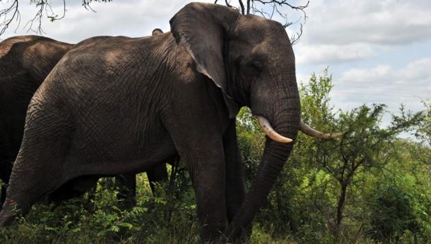 Elefanten im Krüger-Nationalpark (Archivild) (Bild: AFP)