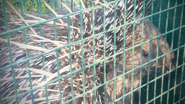 In Ungarn wurde ein Stachelschwein gefangen (Bild: Zoo Györ/ SopronMedia)