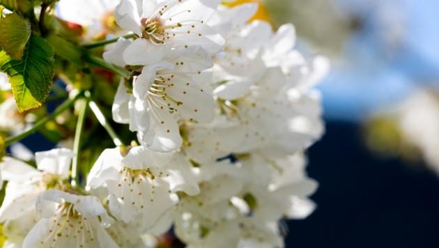 Im Obstbau ist die Gefahr von Frostschäden in den vergangenen Jahren stark gestiegen (Bild: Mathis Fotografie)
