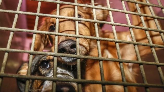 Vierbeiner als illegale Fracht: Immer wieder entdeckt die Polizei bei Kontrollen von Klein-Lkw junge Hunde in Käfigen. (Bild: Tschepp Markus)