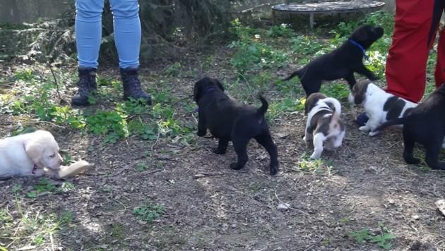 Den Welpen geht es im Tierheim St. Pölten gut. Sie tollen schon wieder herum. (Bild: Privat)