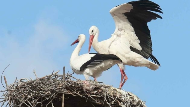 Der Storch: das heimliche Wappentier des Burgenlandes (Bild: Judt Reinhard)