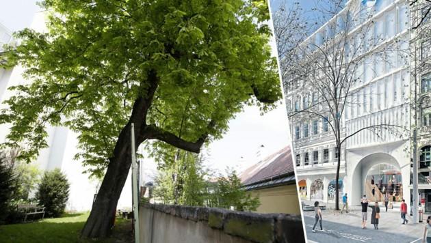 Dieser Prachtbaum wäre den Baggern im Weg gestanden. Er dürfte die Signa-Pläne aber nun überleben. (Bild: Klemens Groh, Signa, Krone KREATIV)
