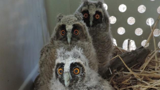 Ein neues Zuhause fanden drei kleine Eulen in der Greifvogelstation. (Bild: VIER PFOTEN)