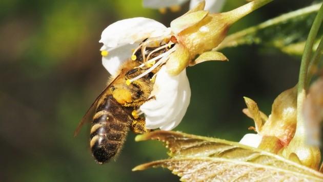 Unsere Bienen fliegen auf Blütenhecken und Waldraine. (Bild: Gabriele Moser)