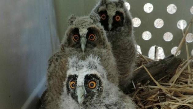 Pflegefall im Dreierpack: Mit großen Augen blicken die Waldohreulen in die Kamera. (Bild: Vier Pfoten)