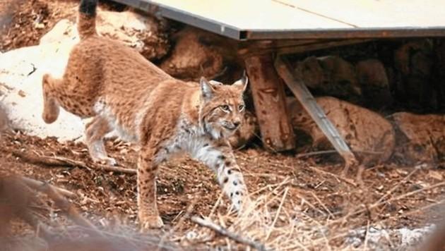 Vor ein paar Jahren wurden einzelne Luchse im Gailtal gesichtet. Seither fehlt in Kärnten jede Spur von den Großkatzen. (Bild: Pressestelle WWF)