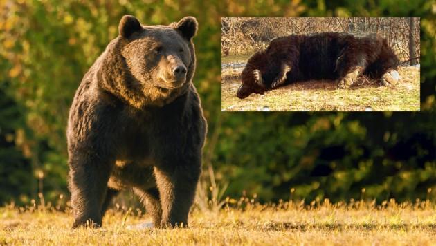 """""""Arthur"""", einer der größten Bären Europas, soll durch die Hand des Schützen gefallen sein. (Bild: Agent Green, zVg)"""