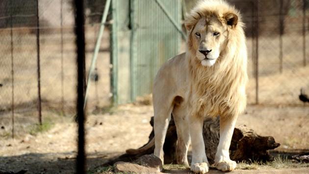 Ein Löwe im Gehege der Bona Bona Game Farm, 200 Kilometer südlich von Johannesburg. Etwa 500 Löwen werden jedes Jahr in Südafrika legal gejagt - die meisten davon wurden nur dafür gezüchtet, um durch die Kugeln der Jagdtouristen zu sterben. (Bild: AFP)