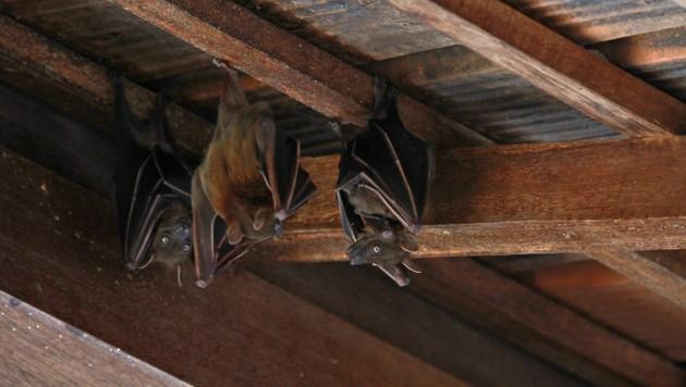 Forscher gehen davon aus, dass das Coronavirus über Fledermäuse auf den Menschen übergesprungen ist. (Bild: ©Amanda - stock.adobe.com)