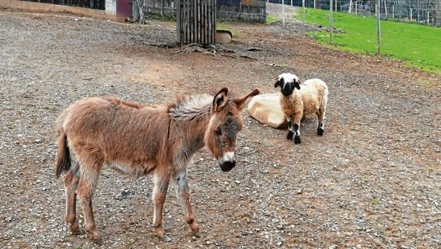 Eseldame Elisa im Gehege mit ihren vierbeinigen Freunden (Bild: Wildpark Assling)