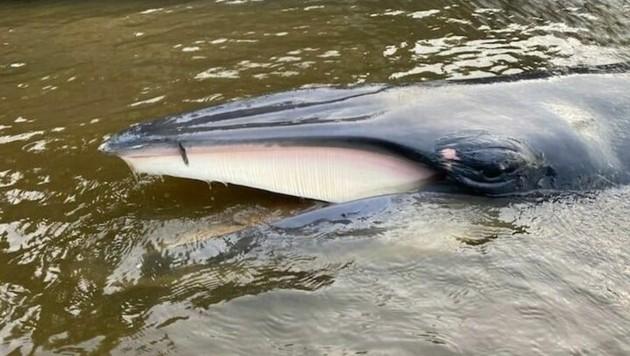 Der Vier-Meter-Wal in der Londoner Themse musste eingeschläfert werden. (Bild: facebook.com/BDMLR)