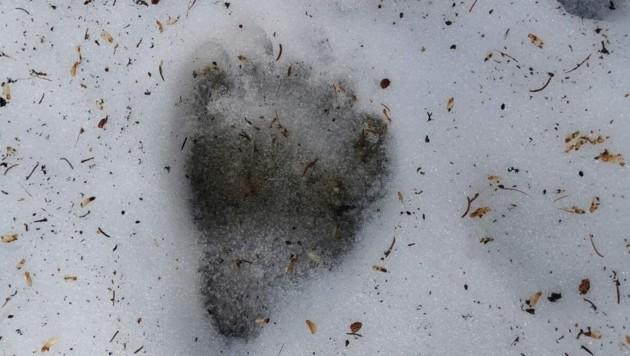Frische Spure eines Bären im Gemeindegebiet von Serfaus. (Bild: Privat)