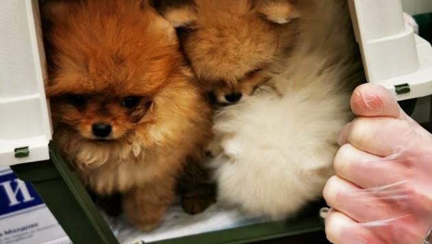 Diese eingepferchten Hundewelpen wurden als lebendige Schmuggelware vom Zoll entdeckt und auch gerettet. (Bild: BMF/ZA)