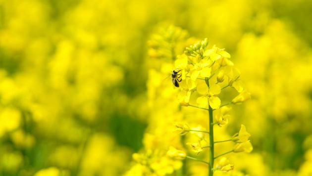 Derzeit unübersehbar: Die gelb blühenden Rapsfelder. (Bild: Markus Wenzel)