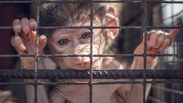 Experimente mit Affen gehören zu den umstrittensten Tierversuchen. In der Corona-Pandemie nahm der Bedarf an den Tieren in der Pharma-Forschung massiv zu. (Bild: stock.adobe.com)