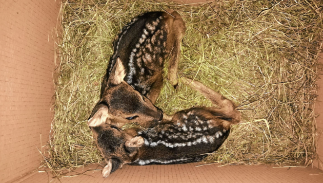 Die beiden Kitze wurden in Feldkirchen entdeckt. (Bild: zVg)