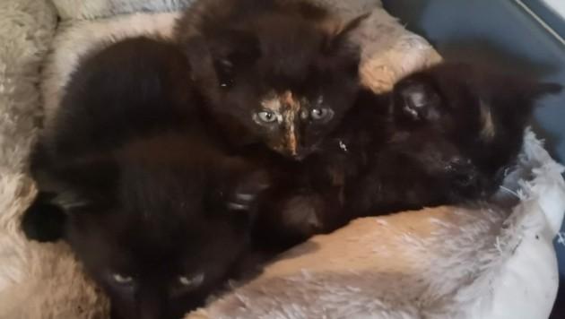 Die drei kleinen Katzenkinder wurden in Redlham gerettet (Bild: Tierengel Austria)