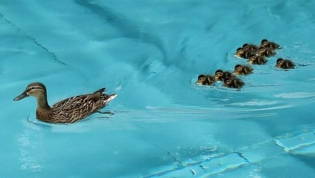 Die Entenfamilie schwamm eine Runde durch das Becken im Neuwaldegger Bad. (Bild: Neuwaldegger Bad)