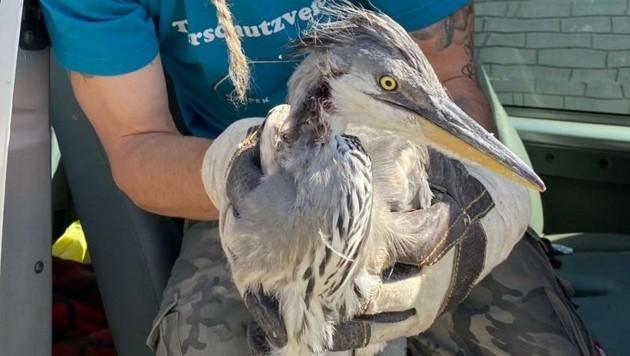 Dieser flugunfähige Fischreiher wurde gerettet. (Bild: Tierheim Krems)