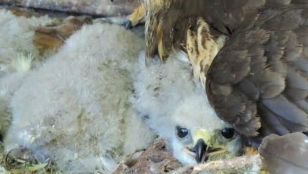 Die kleinen Bussarde verloren bei einem Sturm ihr Nest. (Bild: VIER PFOTEN)