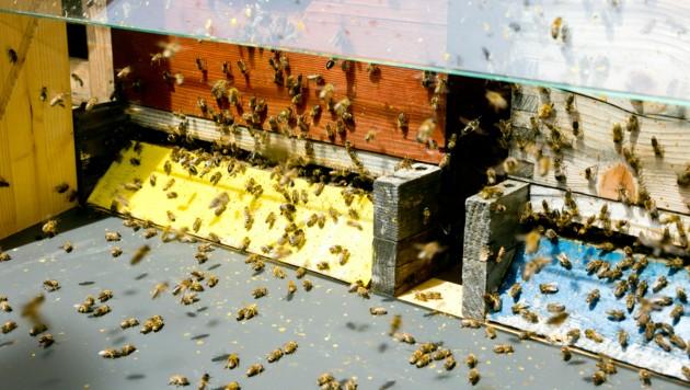 Bienen brauchen genügend Zeit, um den Honig mit körpereigenen Stoffen anzureichern. Erst dadurch wird das Lebensmittel zu einem hochwertigen Produkt. (Bild: Mathis Fotografie)