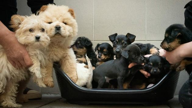 13 süße Hundebabys hätten illegal verkauft werden sollen. (Bild: Tierheim Brunn)