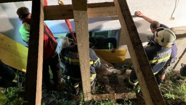 Anwohner fanden das Tier liegend zwischen einer Stützwand und der Hausmauer ihres Heimes. (Bild: Feuerwehr Feistritz/Drau )