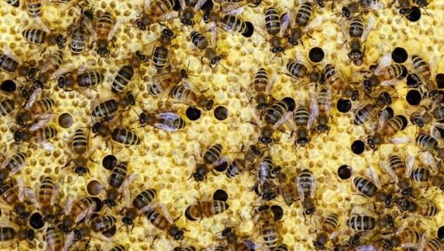 Im Bezirk Mattersburg trat eine Bienenseuche auf. (Bild: Christoph Hardt)