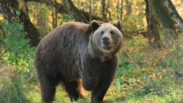 Die Schützlinge des Bärenwaldes bekommen jetzt zwei neue Gehege. (Bild: Vier Pfoten)