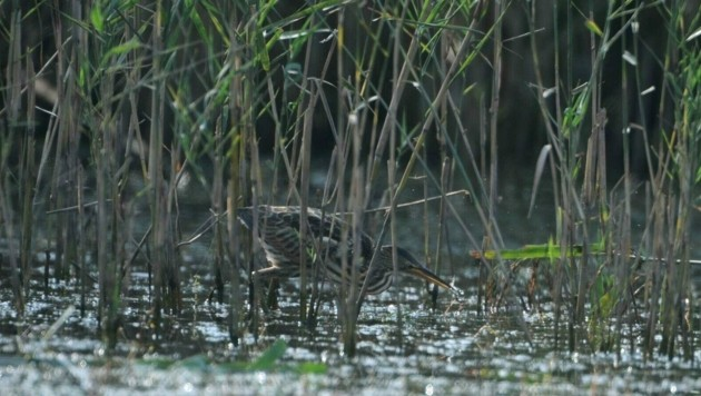 Die Feuchtbiotope sind ein wichtiger Lebensraum, auch für verschiedene Vogelarten. (Bild: Hansjörg Lauermann)