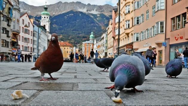 Tauben in den Städten sorgen für Wirbel. Innsbruck (Bild) setzt bereits aufs Augsburger Modell. (Bild: Christof Birbaumer)