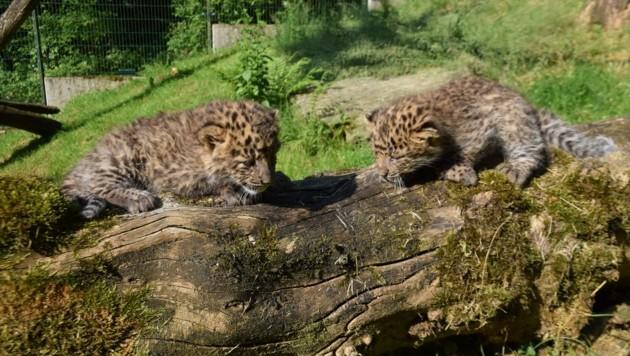 Die zwei kleinen Leopardenmädchen entdecken ihr Gehege (Bild: Herbert Stoschek)